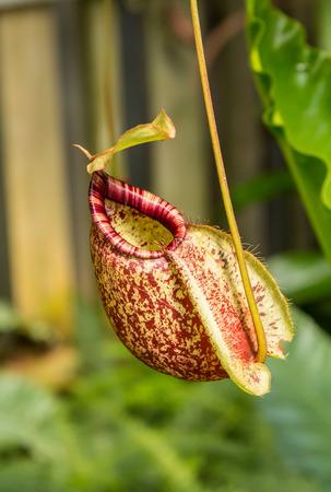 plants species: Nepenthes Ampullaria, una brocca piante tropicali è un genere di piante carnivore Archivio Fotografico