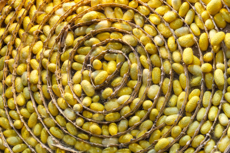 sericulture: Sericulture or silk production process, yellow silkworm cocoons nest in bamboo basket. Stock Photo