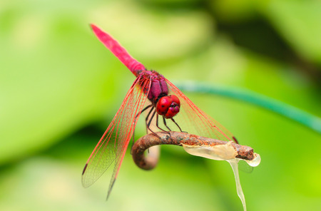 crocothemis: Red Dragonfly (scarlet darter ) on a branch with a green background. (focus on the eye)