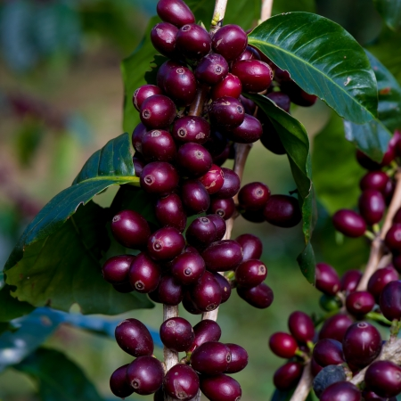 coffee harvest: Coffee beans ripening on tree in North of thailand
