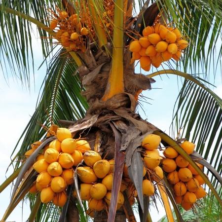 Fruit of coconut tree  Stock Photo - 19894924
