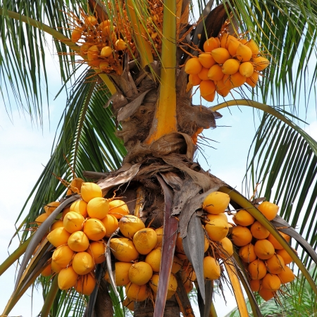 copra: Fruit of coconut tree