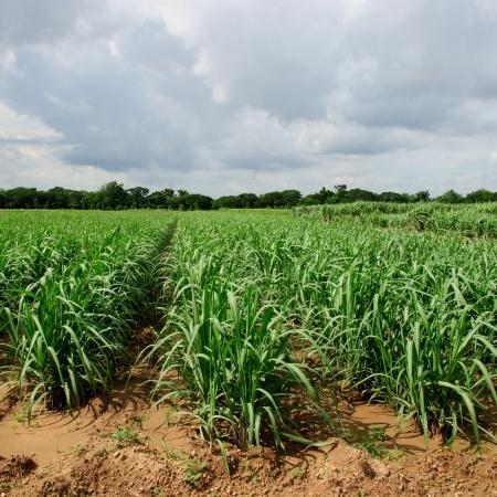 sugar land: sugarcane plantation