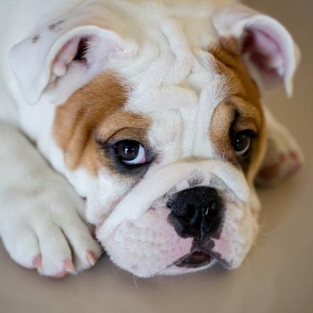 english bulldog Фото со стока - 22009919