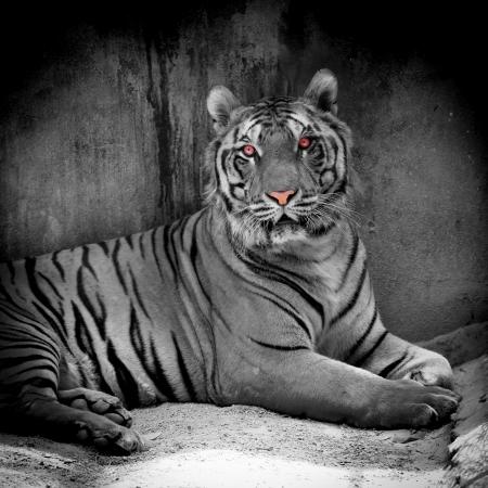 white tiger Stock Photo - 22184240