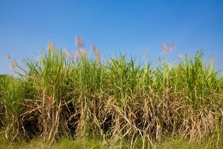 sugarcane plantation photo