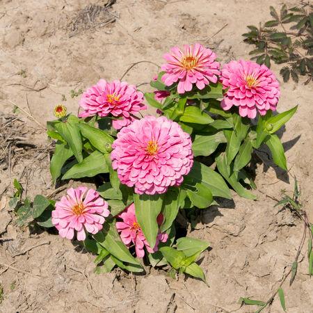 compositae: pink Zinnia flowers. (family Compositae)