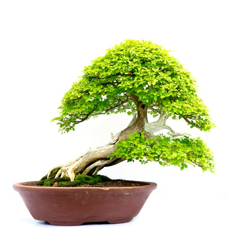 bonsai tree isolated on white photo