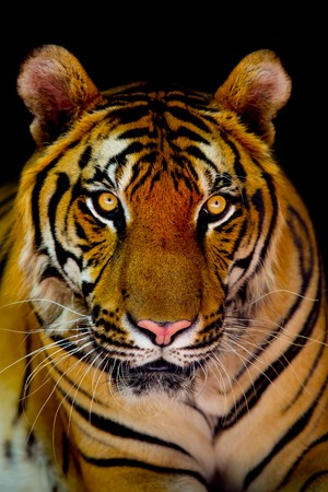 ggression: tiger