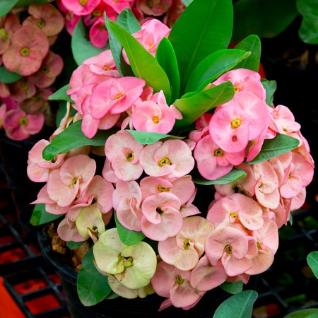 Crown of thorns flowers photo