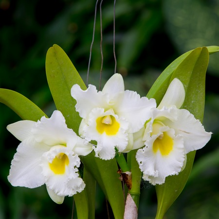whie: whie  orchid flower