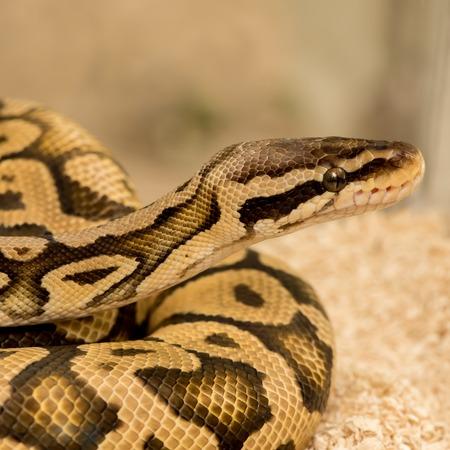 royal python: Python Royal python
