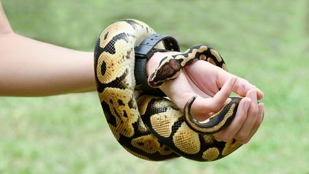 ball python: a royal or ball python coiled around the arm of a person Stock Photo