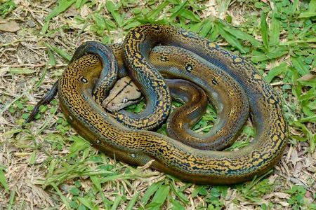 ball python: Ball Python Snake