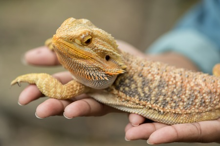 Bearded Dragon bij de hand