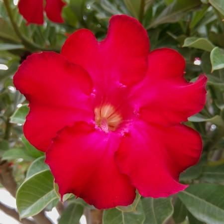 asterids: azalea flowers