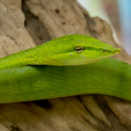 contortionist: Close-Up Green Viper