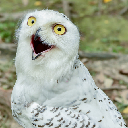 squawk: Snowy Owl Stock Photo