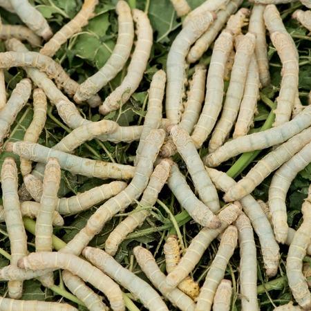 silkworm: Silkworm eat leaf
