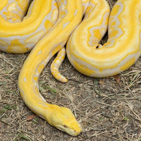 reticulatus: Gold Python,Reticulated python (Python reticulatus) Stock Photo