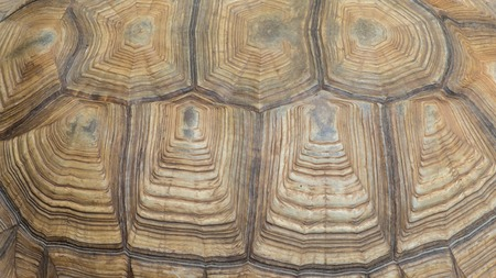 Texture of Sulcata Tortoise carapace Stock Photo