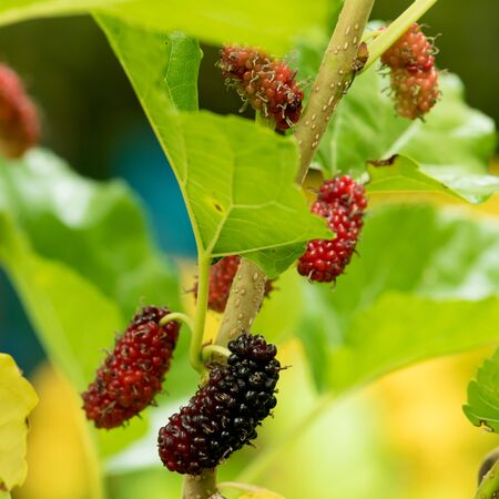 nature backgrounds: Mulberry fruits in nature backgrounds.
