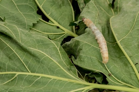 lunchtime: Silkworms Stock Photo