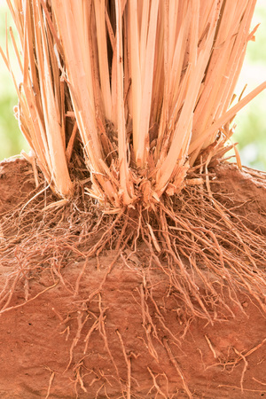 conserving: The root of Vetiver Grass  in the ground Stock Photo