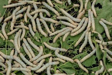 mori: Silkworms Stock Photo