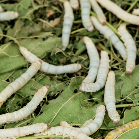bombyx mori: Silkworm eat leaf