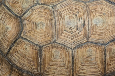 carapace: Texture of Sulcata Tortoise carapace Stock Photo