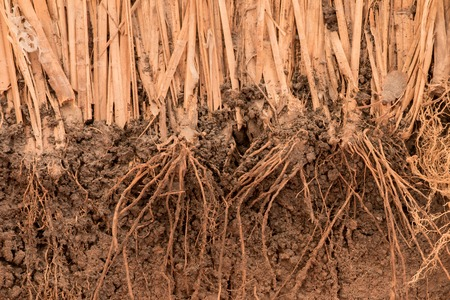 The root of Vetiver Grass  in the ground Stock fotó