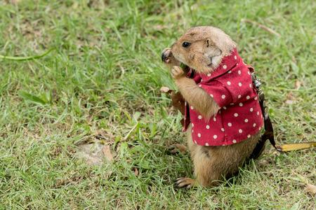 prairie dog: Prairie dog feeding on grass