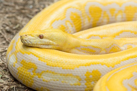 reticulated: Gold Python,Reticulated python (Python reticulatus) Stock Photo