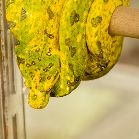 Green Tree Python yellow phase