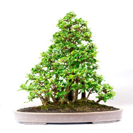 bonsai tree: bonsai tree isolated on white