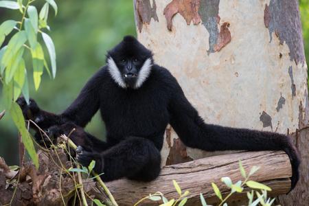 hominid: Black Gibbon(White-Cheeked Gibbon)