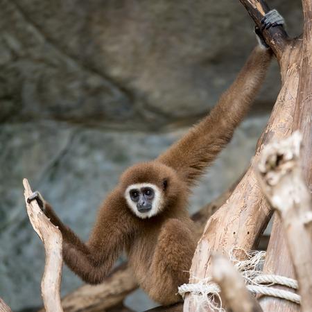 biped: Brown Gibbon Stock Photo