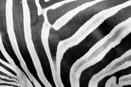 cebra: Zebra piel