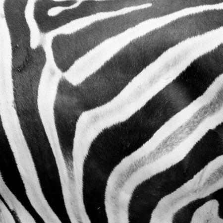 zebra: Zebra piel