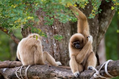 hominid: White Cheeked Gibbon Stock Photo