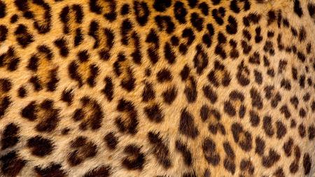jaguar: Piel de jaguar real