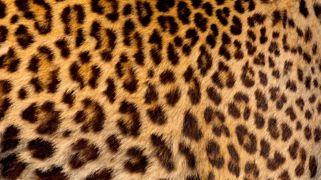 Real jaguar skin Фото со стока - 51701455