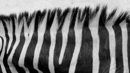 animal themes: Zebra skin Stock Photo