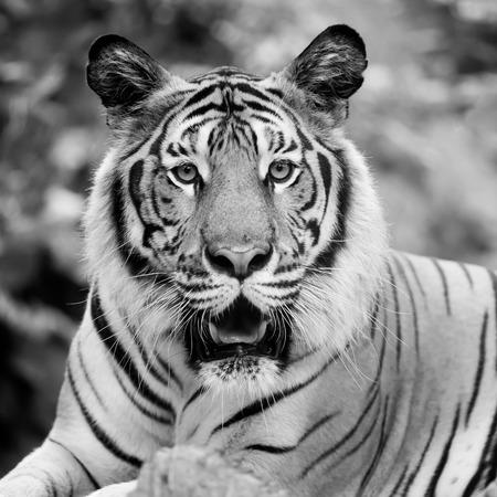 tigre noir et blanc Banque d'images