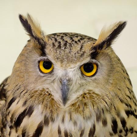faced: White Faced Owl Stock Photo