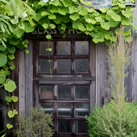 old wood window covered by green ivy leafs