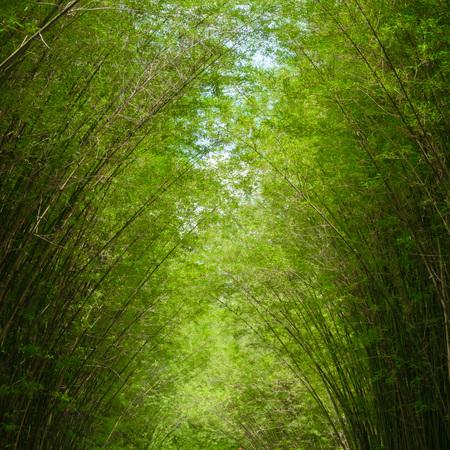 arboleda: Bosque de bambú, bosque de bambú