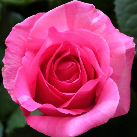 Bella rosa del primo piano