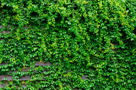 green ivy on wood background Stock Photo